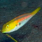 Caribbean Parrotfish
