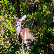 Early Fall Doe Checking Out The Intruder