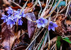THEMENBILD - das Leberblümchen (Hepatica) ist eine kleine blaublühende Pflanze, die bevorzugt in Wäldern im Halbschatten wächst. Sie war und ist eine wichtige Pflanze in der Volksheilkunde. Alle Teile der frischen Pflanze sind giftig, getrocknet ist sie ungiftig, aufgenommen am 31. März 2018, Kaprun, Österreich // Liverwort is a small blue-flowering plant that prefers to grow in partial-shade forests. It was and is an important plant in folk medicine. All parts of the fresh plant are poisonous, dried it is non-toxic. on 2018/03/31, Kaprun, Austria. EXPA Pictures © 2018, PhotoCredit: EXPA/ Stefanie Oberhauser