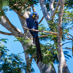 """Arara-azul-grande (Anodorhynchus hyacinthinus) fotografado em Corumbá, Mato Grosso do Sul. Bioma Pantanal. Registro feito em 2017.<br /> <br /> <br /> <br /> ENGLISH: Hyacinth Macaw photographed in Corumbá, Mato Grosso do Sul. Pantanal Biome. Picture made in 2017."""