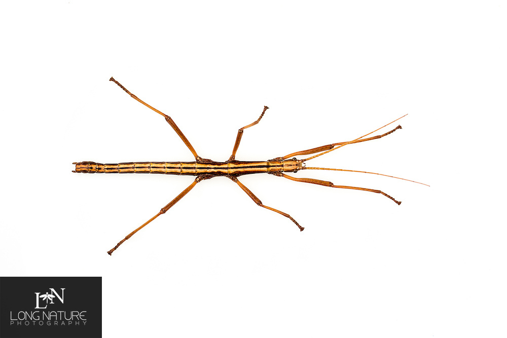 Twostriped walkingstick, Anisomorpha buprestoides, portrait.