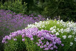 Phlox paniculata 'Franz Schubert' AGM, Phlox paniculata 'David' AGM and Verbena bonariensis - Argentinian vervain.