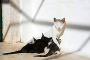 Stray feral mother white cat, Felis catus, nursing her cute black kittens at Paleokastritsa in Corfu, , Greece