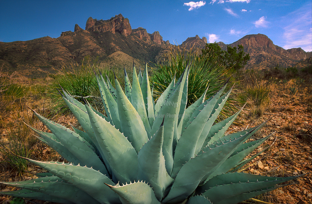 Century Plant in the center of Big Bend National Park, Texas. Big Bend National Park in the U.S. state of Texas has national significance as the largest protected area of Chihuahuan Desert topography and ecology in the United States. It contains more than 1,200 species of plants, more than 450 species of birds, 56 species of reptiles, and 75 species of mammals.<br /> <br /> The national park covers 801,163 acres, which is larger than the state of Rhode Island. Few other parks exceed this park's value for the protection and study of geologic and paleontologic resources. A variety of Cretaceous and Cenozoic fossil organisms exist in abundance. Archaeologists have discovered artifacts estimated to be 9,000 years old, and historic buildings and landscapes offer graphic illustration of life along the international border in the 19th century.<br /> <br /> The park exhibits dramatic contrasts and its climate may be characterized as one of extremes. Dry and hot late spring and summer days often exceed 100 °F in the lower elevations. Winters are normally mild but sub-freezing temperatures occasionally occur. Because of the range in altitude from approximately 1,800 feet along the river to Emory Peak in the Chisos Mountains at 7,832 feet a wide variation in available moisture and temperature exists throughout the park. These variations contribute to an exceptional diversity in plant and animal habitats. Some species in the park, such as the Chisos Oak (Quercus gravesii), are found nowhere else in the United States.