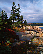 Spruce along the shore of Newport Cove south of Sand Beach, Acadia National Park, Maine.