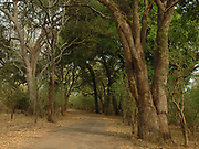 Road through pristine riverine woodland, Shingwedzi River, Kruger Nat