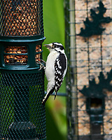 Downy Woodpecker. Image taken with a Nikon D850 camera and 400 mm f/2.8 lens