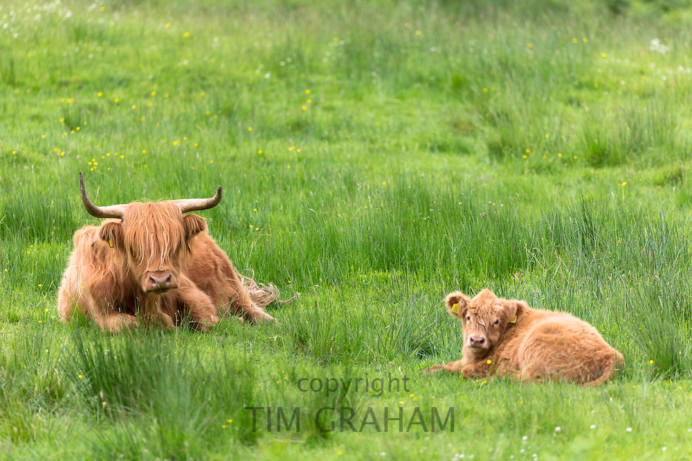 Highland Cattle,  Bos primigenius, with horns lying down with calf on Isle of Mull in the Inner Hebrides and Western Isles, West Coast of Scotland