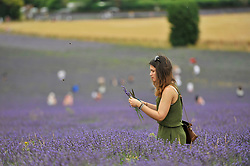 © Licensed to London News Pictures. 09/07/2017. Ickleford, UK. A visitor to Hitchin Lavender farm views and picks lavender.  Currently in full bloom, the lavender attracts visitors from far and wide to this popular family run farm.  Photo credit : Stephen Chung/LNP