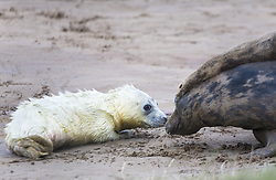 July 21, 2019 - Baby Seal And Adult Seal (Credit Image: © John Short/Design Pics via ZUMA Wire)