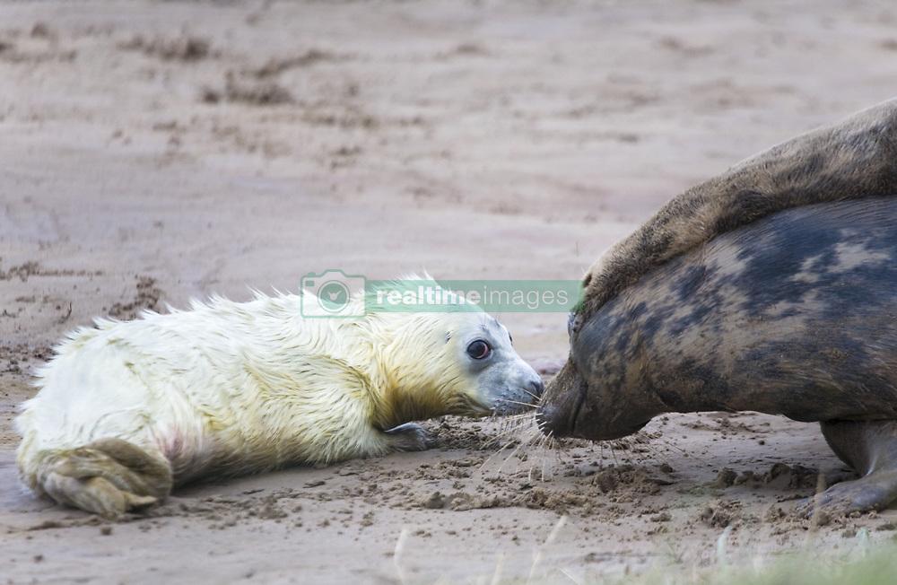 July 21, 2019 - Baby Seal And Adult Seal (Credit Image: © John Short/Design Pics via ZUMA Wire)