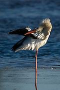 White stork mating in Ria Formosa Natural Park - Algarve, Portugal