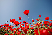 Israel, a field of red poppies Papaver umbonatum on a blue sky background