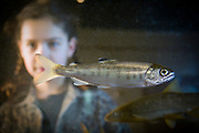 A nine year old girl and a young boy observe a coho salmon fry (Oncorhynchus kisutch), an endangered species, in an aquarium at the water Resources Education Center in Washington. (Fully Released)