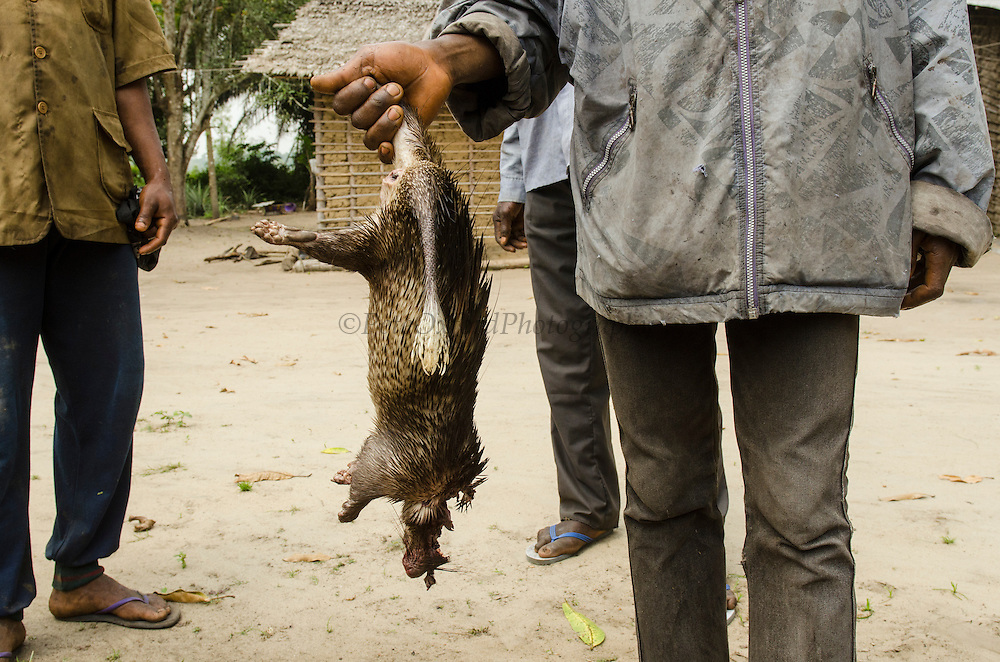 Bushmeat<br /> African Brush-Tailed Porcupine (Atherurus africanus)<br /> Road Brazzaville to Mbomo (N2)<br /> Republic of Congo (Congo - Brazzaville)<br /> AFRICA