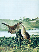 The marsh wren (Cistothorus palustris) is a small North American songbird of the wren family. It is sometimes called the long-billed marsh wren From Birds : illustrated by color photography : a monthly serial. Knowledge of Bird-life Vol 1 No 4 April 1897