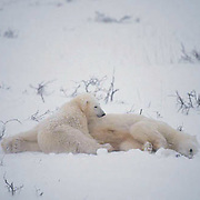 Polar Bear (Ursus maritimus) Mother and cub lying near dead cub in snow. Cape Churchill. Manitoba. Canada. Winter.