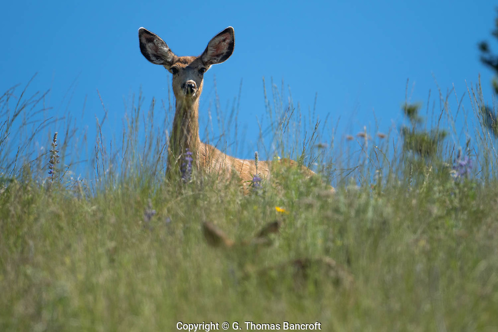 The two small ears of a fawn appeared in the grass as the mother Mule Deer continued to stare at me.