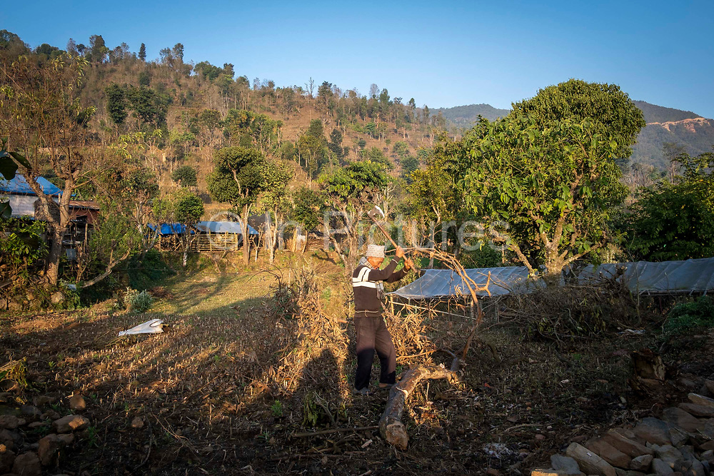 An elderly man chopping up a tree with an axe for firewood in the morning sunshine, on the 3rd of March 2020 in  the village of Raniswara, Ghairung, Gorkha, Nepal.