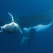 Humpback whale calf (Megaptera novaeangliae) playing in front of its mother. The calf is male, the first one I identified during the 2011 humpback whale season in Vava'u, Tonga.