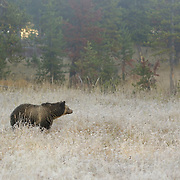 Grizzly Bear (Ursus horribilis) in Yellowstone National Park during the fall.