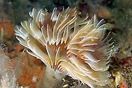 Tube worm - Bispira volutacornis
