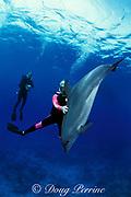 Spot, a wild, lone sociable bottlenose dolphin, Tursiops truncatus, plays with divers, Cayman Brac ( Caribbean Sea ) No MR