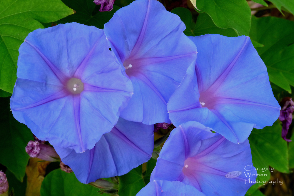 Morning glory blooms can form dense clusters of floral trumpets that blare true blue but last only a day.