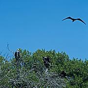 Frigate birds at Contoy Island..Quintana Roo, Mexico