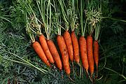 Sao Gotardo_MG, 21 de maio de 2015<br /> <br /> Fotos dos produtores de cenoura na regiao de sao gotardo.<br /> <br /> Foto: MARCUS DESIMONI / NITRO