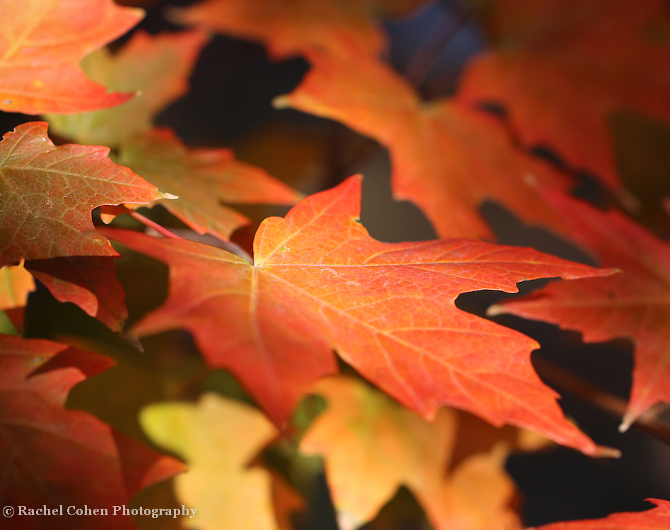 """""""Maple Light Too"""" <br /> <br /> Beautiful Maple leaves in autumn! Colors ranging from orange to red, and yellow. lovely light on the leaves with deep shadows in the background!"""