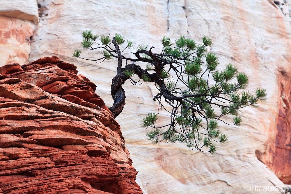Zen Tree, Zion National Park, Utah.