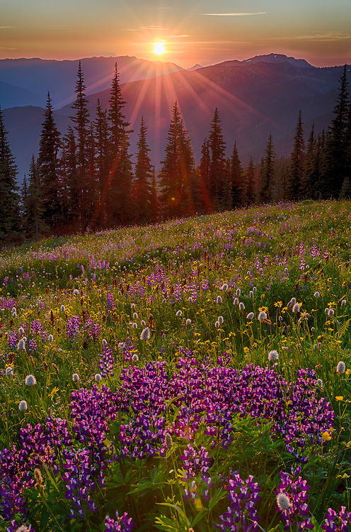 Lupine wildflowers (Lupinus species) in foreground, August sunset, alpine meadow, Obstruction Point Road corridor, Elwha River watershed, Olympic National Park, Washington, USA