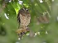 Brown Wood-owl - Strix leptogrammica