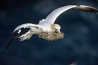 Gannet (Sula bassana) in flight with nest material Saltee Islands Ireland