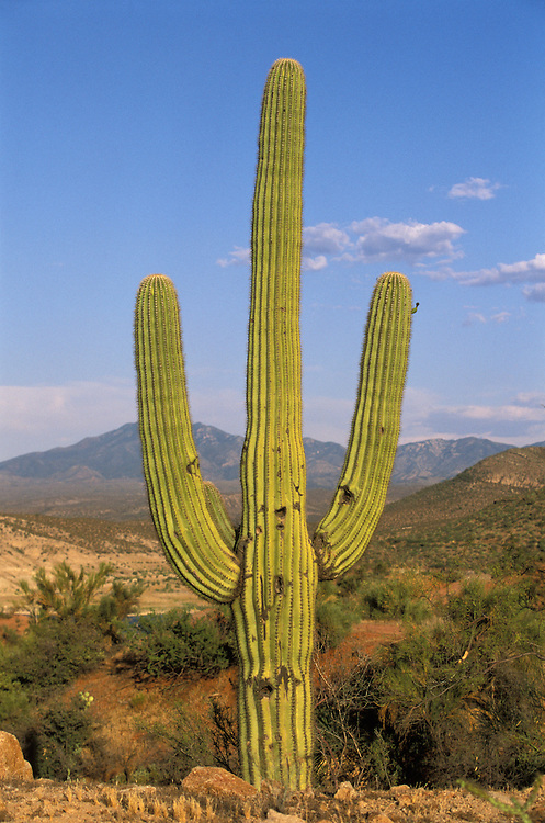 A Saguaro cactus on the San Carlos Apache Indian Reservation in Arizona, USA. June 2004.