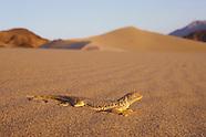 Mojave Fringe-toed Lizard, Uma scoparia