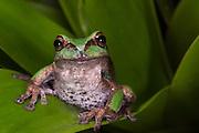 Andean Marsupial tree frog (Gastrotheca elicioi)<br /> CAPTIVE<br /> Central & north Ecuador<br /> ECUADOR. South America<br /> Threatened species due to habitat loss<br /> RANGE: Ecuador<br /> Andean & inter andean valleys north & central Ecuador. 2600m.<br /> New species<br /> Endangered declining population