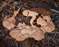"""""""Dog Vomit Mushroom"""" This Fungus Came Up Overnight in the Wood Mulch. Backyard Urban Farm in Saint Petersburg, Florida. Image taken with a Fuji X-T1 camera and 35 mm f/1.4 lens (ISO 200, 35 mm, f/4, 1/850 sec). Raw image processed with Capture One Pro, Focus Magic, and Photoshop CC."""