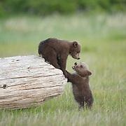 Alaskan Brown Bear cubs climbing on a log. Katmai National Park, Alaska