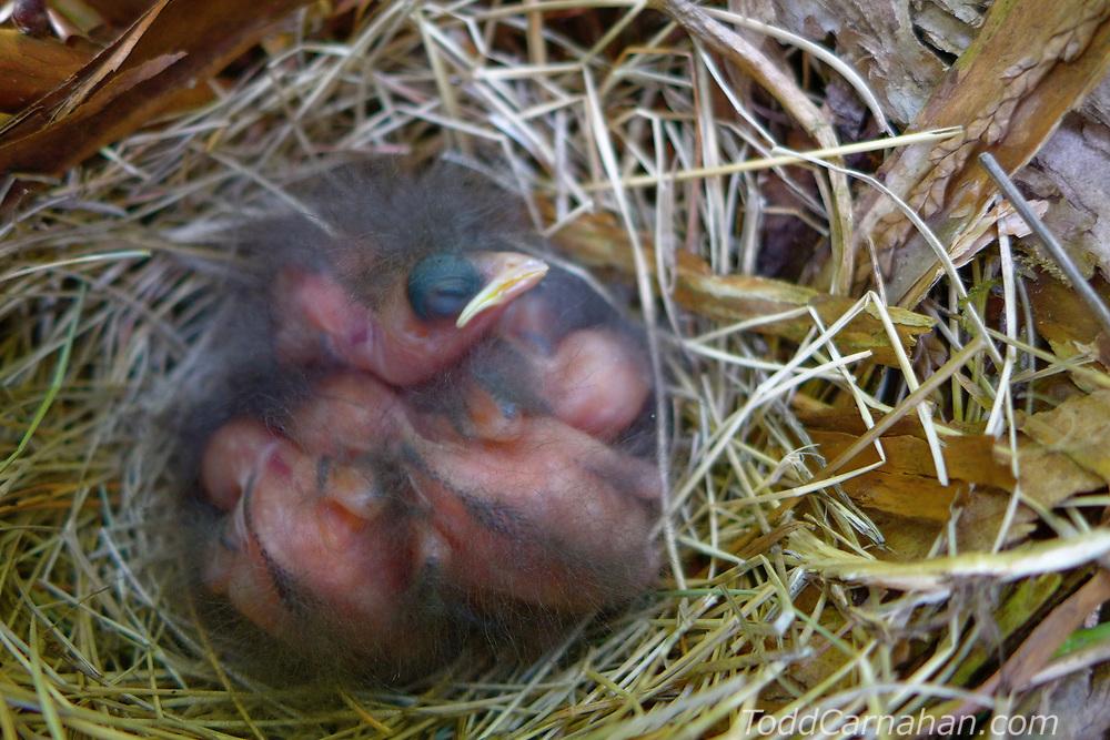towhee bird nest chicks