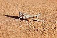 A sideprofil of a locust in desert sand in the Sahara desert of Morocco.