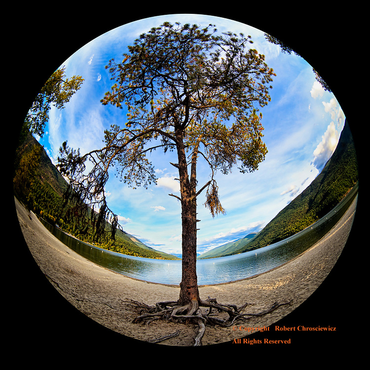 Solitary Tree on Beach: A fisheye view of a rather spartan and solitary evergreen tree, with roots greatly exposed for it resides on the sandy beach on Kootenay Lake, Nelson British Columbia, Canada.