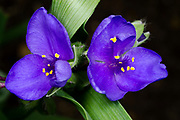 Close-up of two bright blue Tradescantia flowers growing in a Norfolk garden in summer