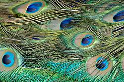 Blauwe pauw, Pavo cristatus