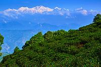 Inde, Bengale Occidental, Darjeeling, jardin de thé et vue sur les Himalayas et le Kangchenjunga à 8586m // India, West Bengal, Darjeeling, tea garden and view to the Himalayas, the Kangchenjunga 8586m