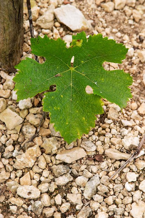 Vine leaf. Sauvignon Blanc. Domaine de la Perriere, Sancerre, Loire, France