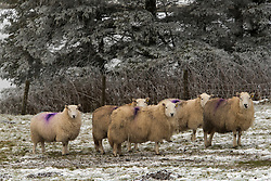 © Licensed to London News Pictures. 08/01/2021. Llanfihangel Nant Melan, Powys, Wales, UK. Sheep are seen in a freezing wintry landscape near Llanfihangel nant Melan in Powys, Wales, UK. Photo credit: Graham M. Lawrence/LNP