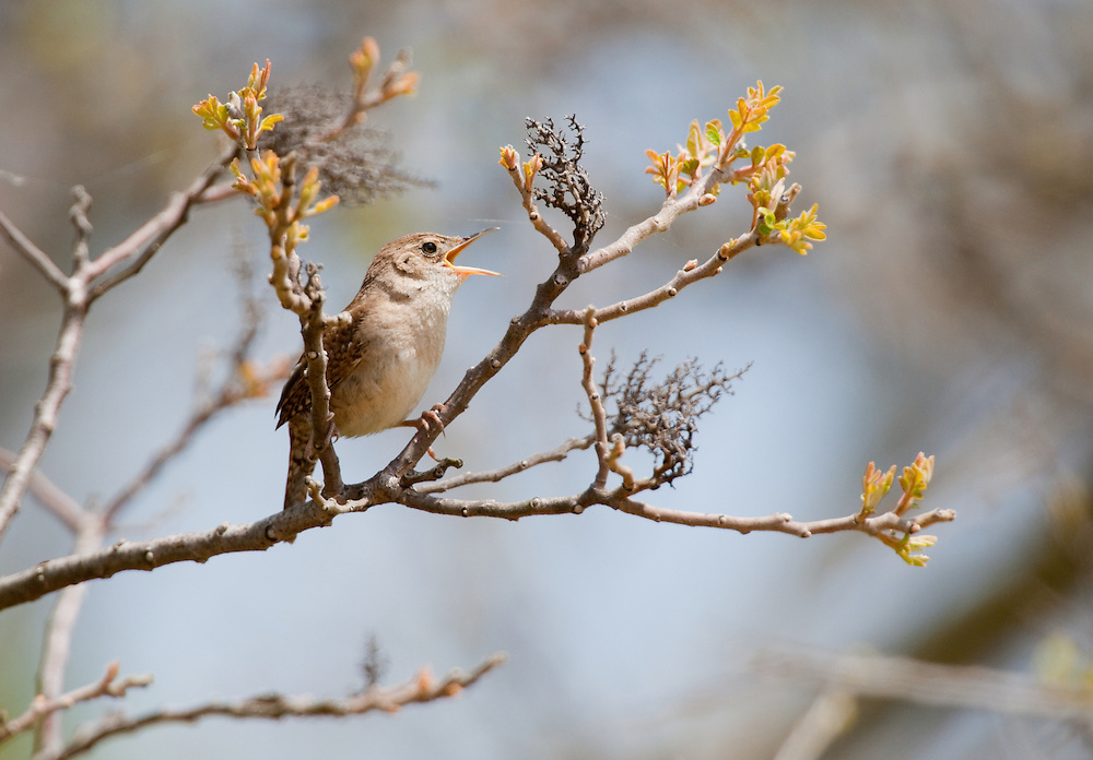 The House Wren, Troglodytes aedon, is a very small songbird of the wren family, shown singing in a tree at Sandy Hook