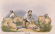 Shearing sheep. From 'Graphic Illustrations of Animals and Their Utility to Man', London, c1850.